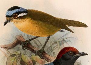 ifirita1 Toksyczne ptaki