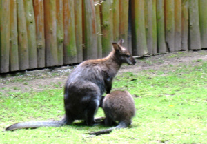 rekordy ssaków - kangur