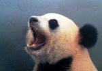 panda_2 Panda wielka