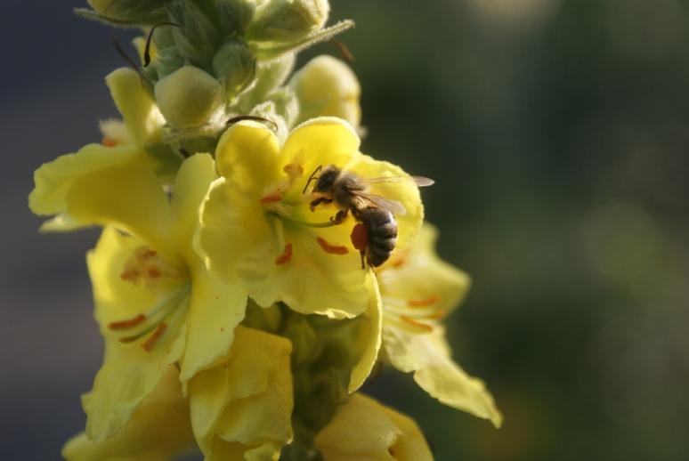pszczoła_2 Z życia pszczół