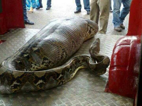 wąż-ludojad Człowiek w roli menu