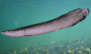 http://www.sci-news.com/biology/science-giant-fish-arapaima-brazil-01455.html