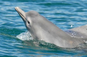 http://www.iflscience.com/plants-and-animals/new-species-humpback-dolphin-discovered