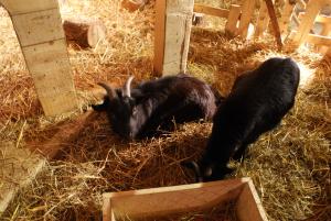 co zrobić z choinką - kozy