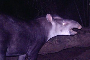 http://www.iflscience.com/plants-and-animals/new-species-tapir-discovered-south-america