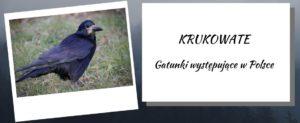 krukowate w Polsce