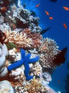 http://upload.wikimedia.org/wikipedia/commons/thumb/7/76/Blue_Linckia_Starfish.JPG/640px-Blue_Linckia_Starfish.JPG