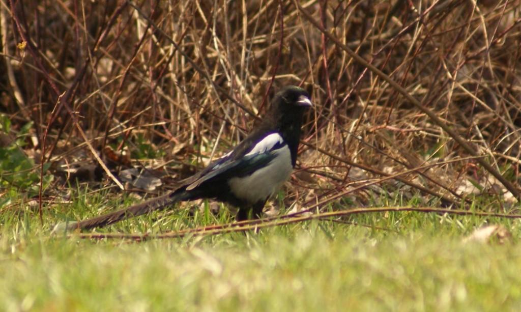 Kruk-corvus-228x300 Krukowate - gatunki występujące w Polsce