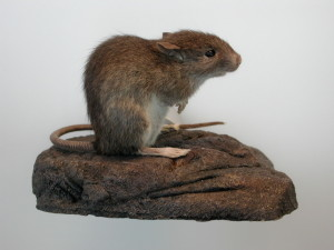 http://upload.wikimedia.org/wikipedia/commons/7/7f/Pacific_rat.jpg