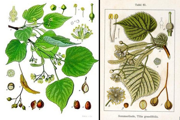 Tilia Lipa (Tilia) - drzewo cenione przez zielarzy, snycerzy oraz estetów