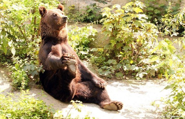wizerunek niedźwiedzia w kulturze człowieka