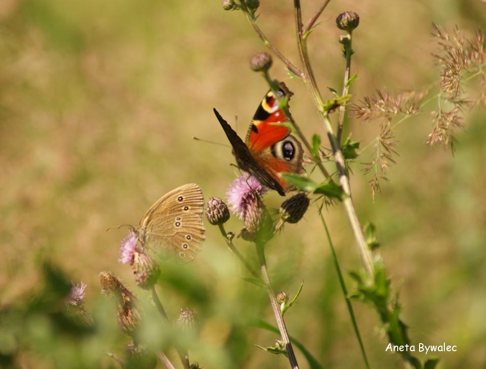 Rusałka pawik i przestrojnik trawnik