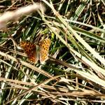 Aphantopus-hyperantus1-704x454 Motyle