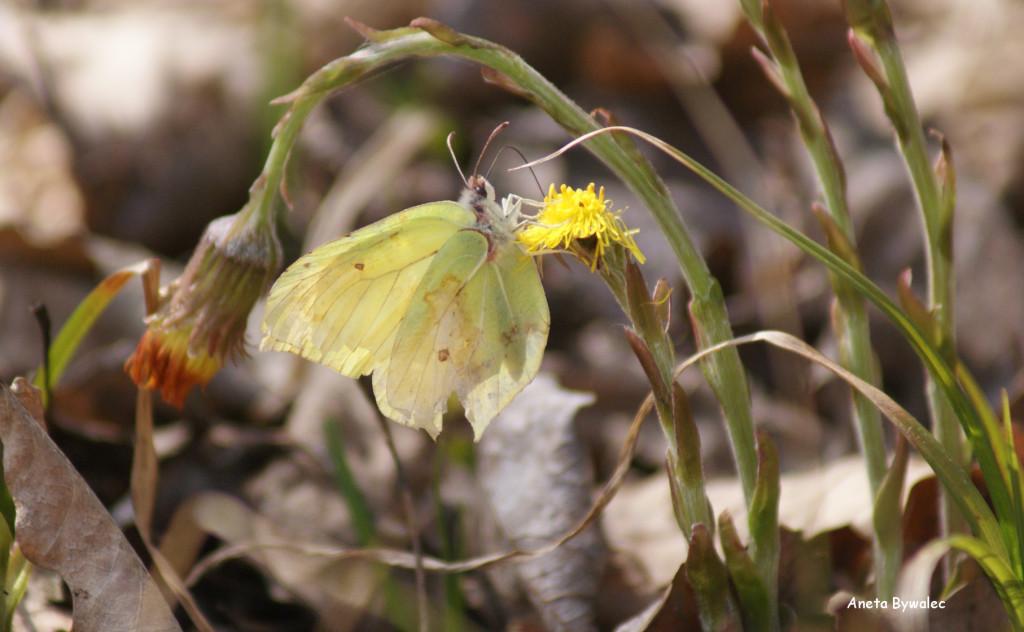 Latolistek cytrynek Gonepteryx rhamni