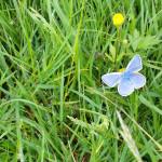 Aphantopus-hyperantus1-704x454 Motyle - galeria zdjęć