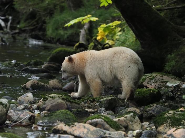 kermode - niedźwiedź duch z Kanady