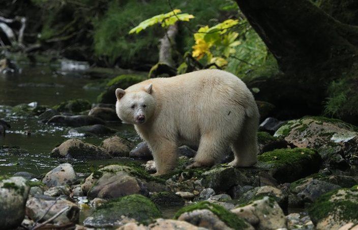 kermode - niedźwiedź duch