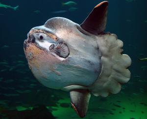 megalodon-size Rekordy ryb