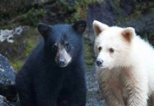 http://www.savebiogems.org/images/campaign-whats-at-stake/spirit-bear-two-cubs.jpg