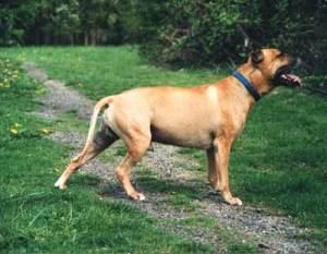 rasy psów uznawanych za agresywne - American_Pit_Bull_Terrier_(Bubu)