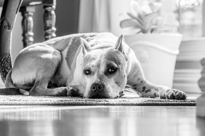 rasy psów uznawane za agresywne - Buldog amerykański