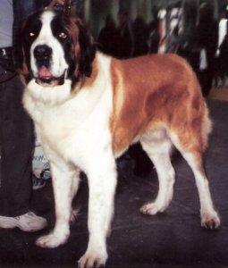 American_Pit_Bull_Terrier_Bubu-300x233 Rasy psów uznawane za agresywne