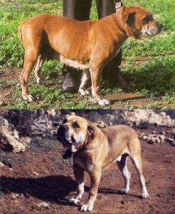 pies z majorki