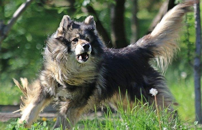 rasy psów uznawanych za agresywne