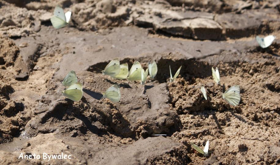 Kapustnik bielinek Pieris brassicae