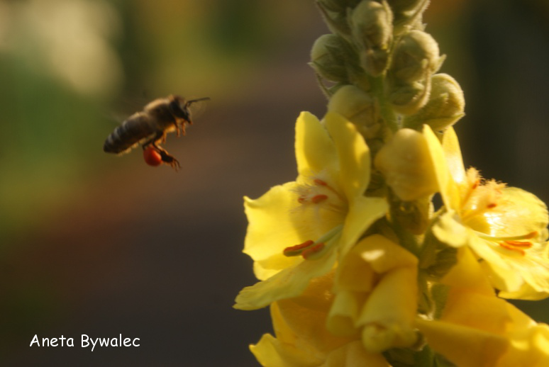 Pszczoła z pełnym koszyczkiem pyłku