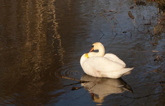 mewa-śmieszka-704x454 Ptaki - galeria zdjęć