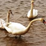 mewa-śmieszka-704x454 Przyrodnicze wyprawy - Jezioro Paprocańskie