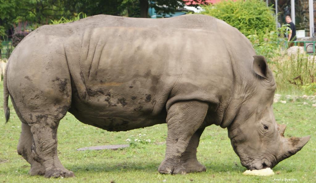 Róg nosorożca