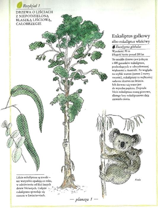 ilustrowany inwentarz roślin - eukaliptus