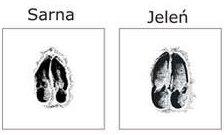 sarna-1024x872 Sarna to, czy jeleń?