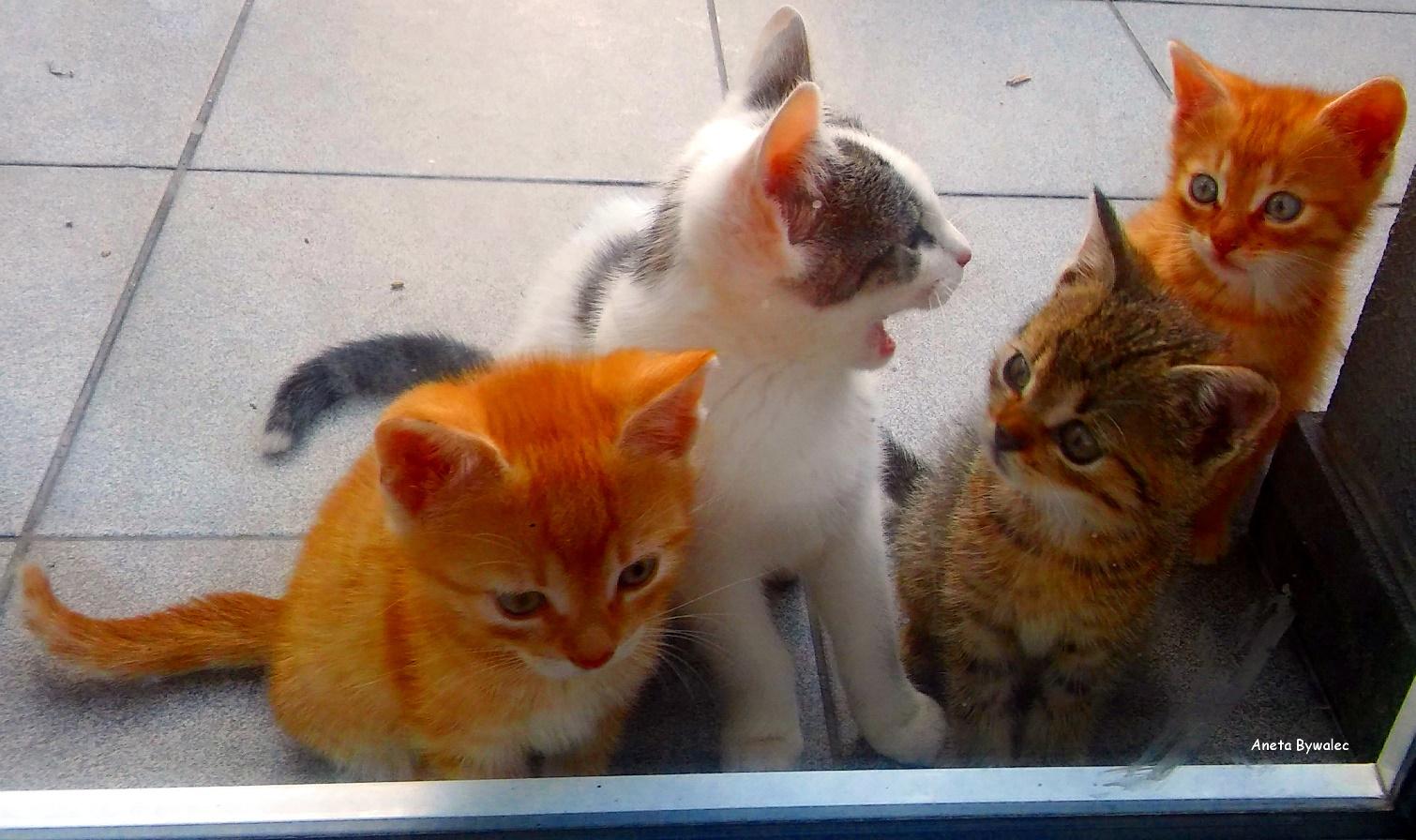 kojarzenie kotów kotek