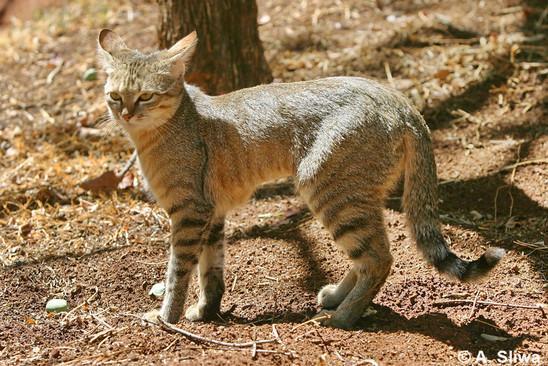 kot-nubijski Wizerunek kota w kulturze