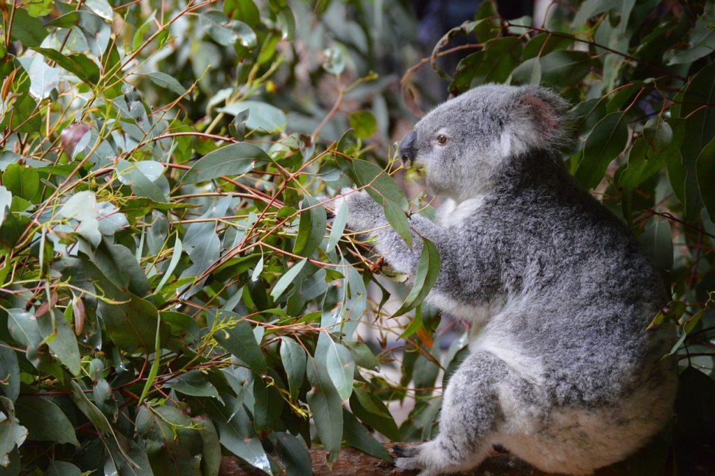 koala-1024x681 Paweł Edmund Strzelecki