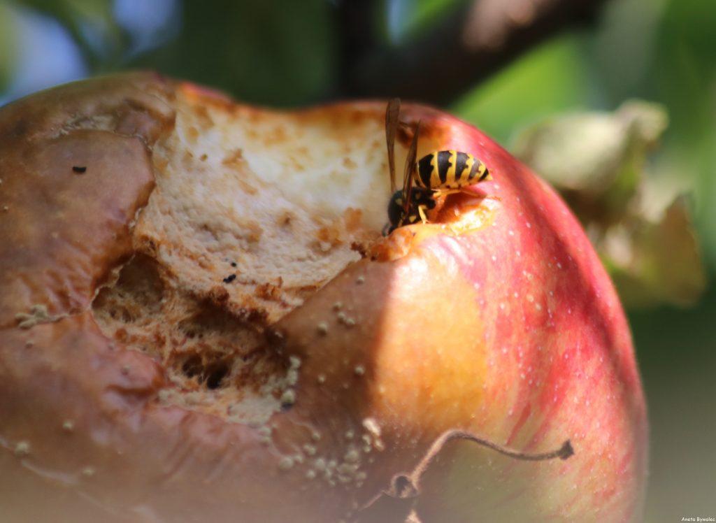 Pszczoła kontra osa - osa żerująca na jabłku