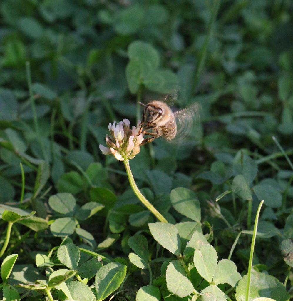 Pszczoła kontra osa - pszczoła zapylająca koniczynke