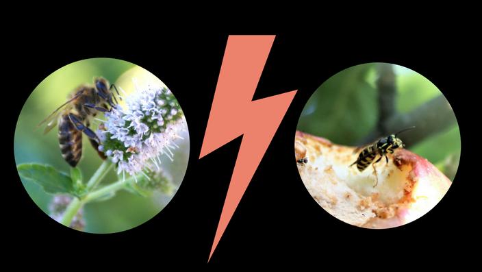 pszczoła kontra osa