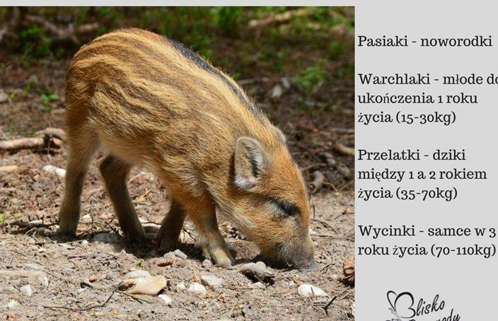 Warchlaki-704x454 Grafiki