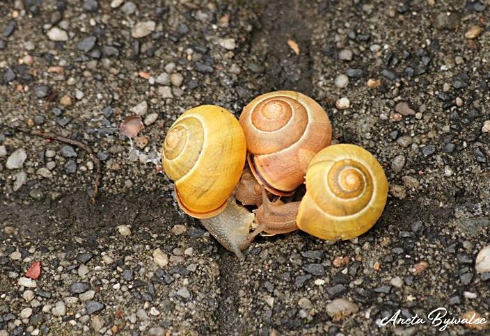 Skąd ślimaki biorą muszlę?