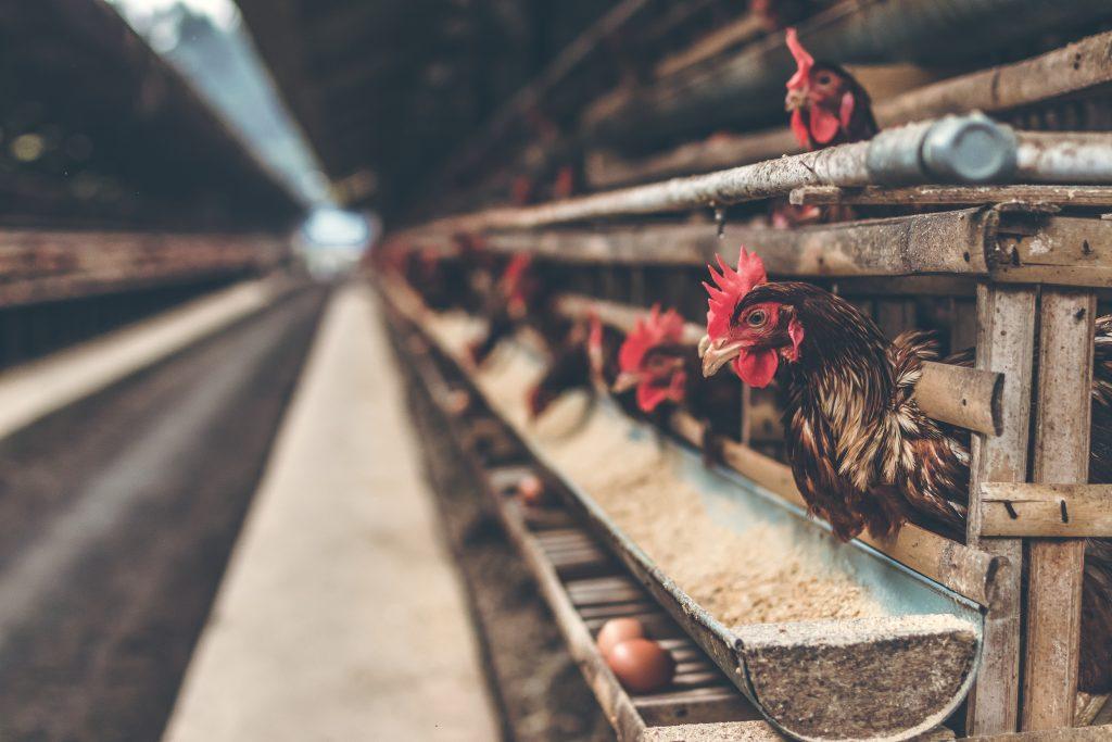 kura w kulturze człowieka - hodowla