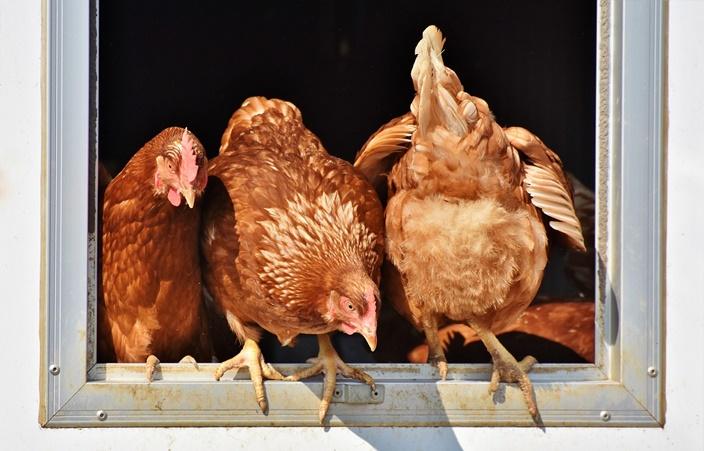 kura w kulturze człowieka