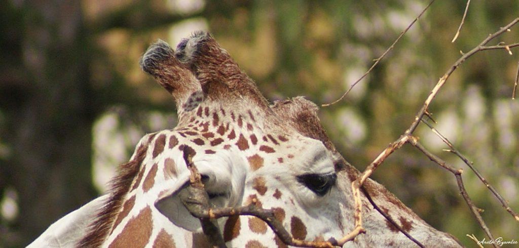po co żyrafie rogi? rogi