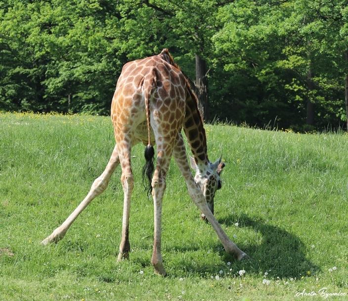 po co żyrafie rogi? schylanie się
