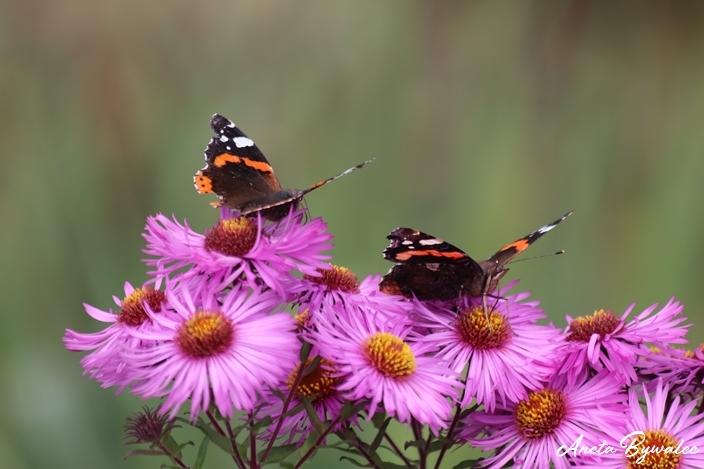 jak zwabić motyle do ogrodu?