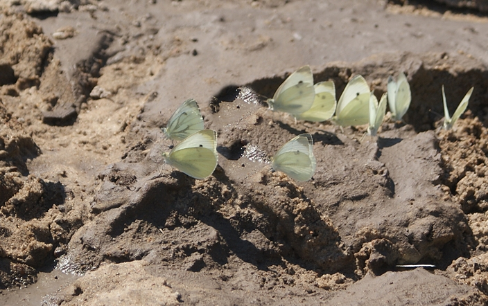 jak zwabić motyle do ogrodu - sadzawka