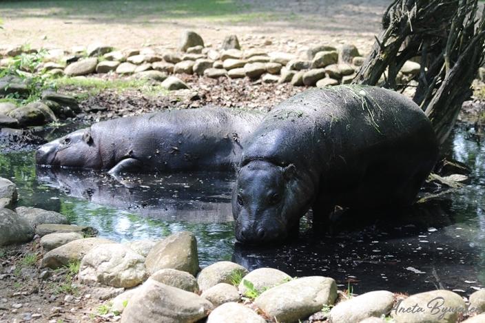 Jak hipopotamy radzą sobie z upałem?